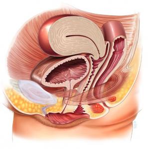 нормальная анатомия тазовых органов